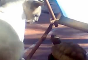 Schildpad terroriseert kat?